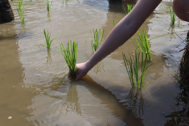 Planter du riz à la main