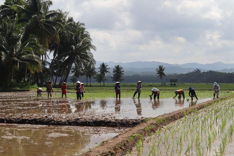 Rizière indonesienne Java