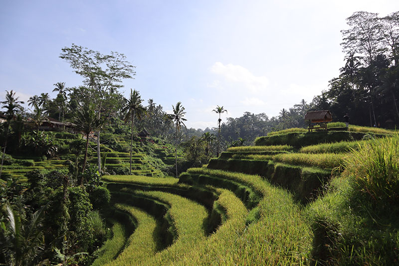 Les rizieres de Ubud