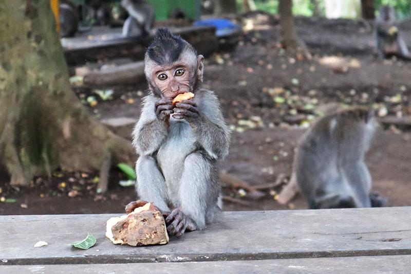 Singe Monkey Forest Ubud